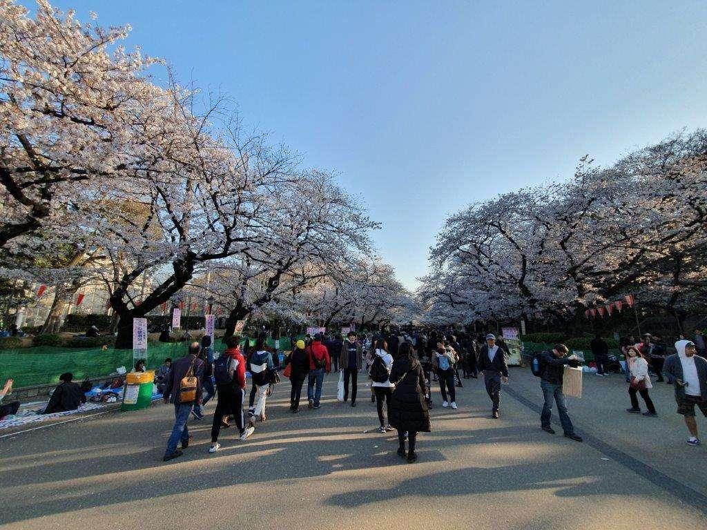 Sakura Blossoms in Ueno Park, Tokyo Japan